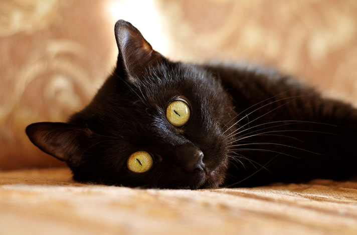 black-cat-breeds-and-history